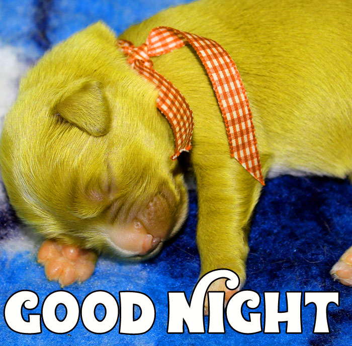 Good Night little cute puppy images hd download