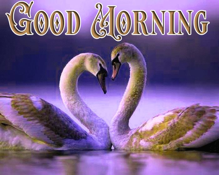 Good morning swan images in water and nature love