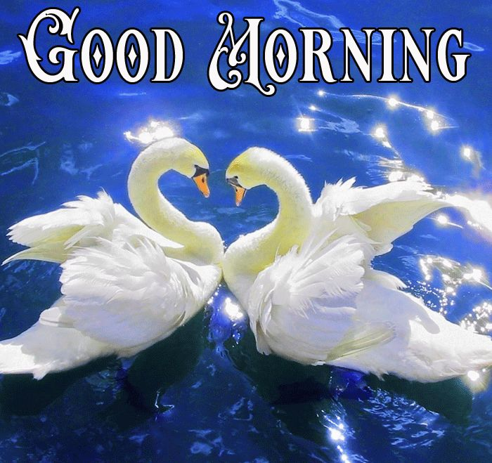 Good morning swan images in water and nature