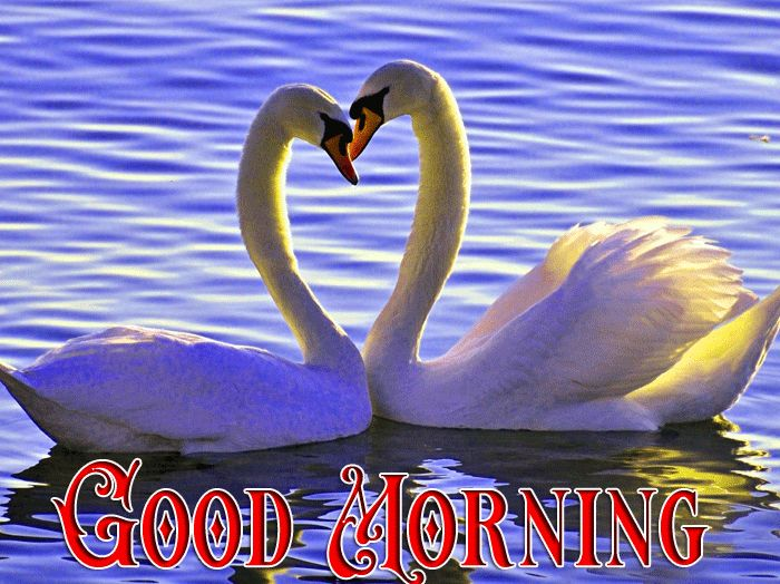heart sape Good morning swan images in water