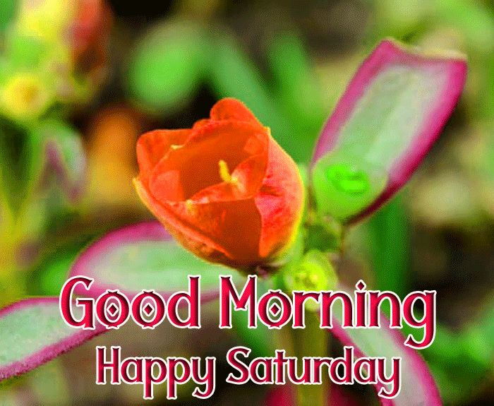 latest red flower Good Morning Happy Saturday hd