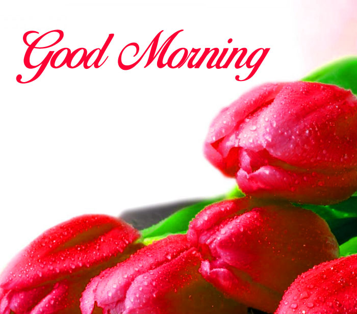 Good Morning red tulips flower images hd