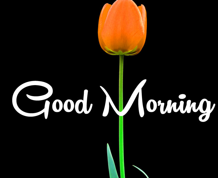 Good Morning tulips red flower images