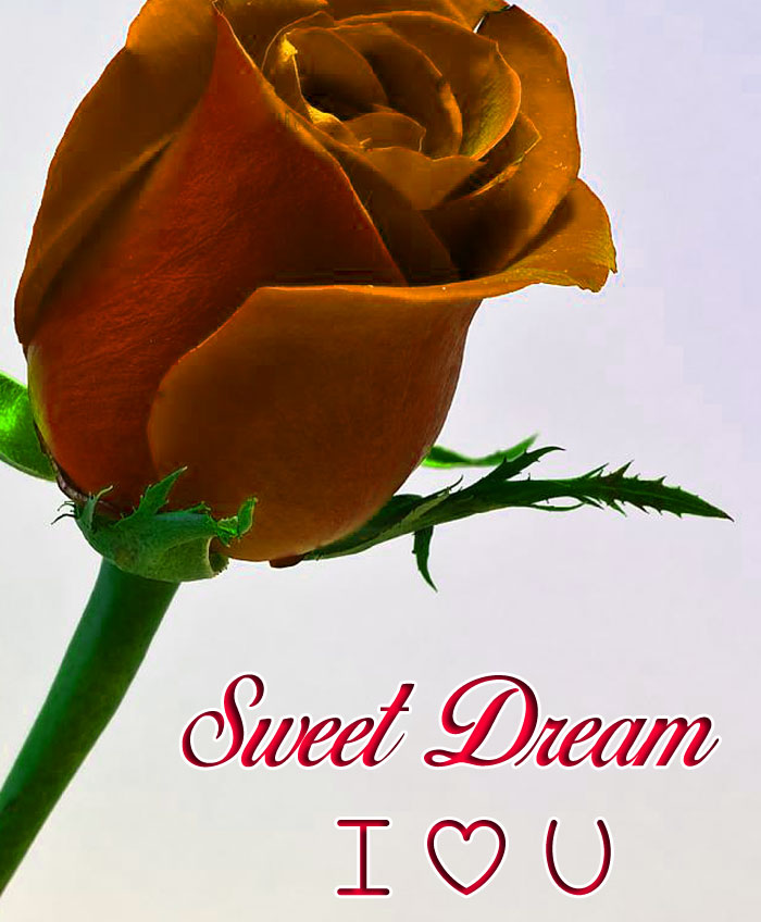 Sweet Dream I Love You single rose images