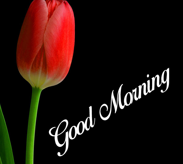 beautiful red tulip flower Good Morning images hd