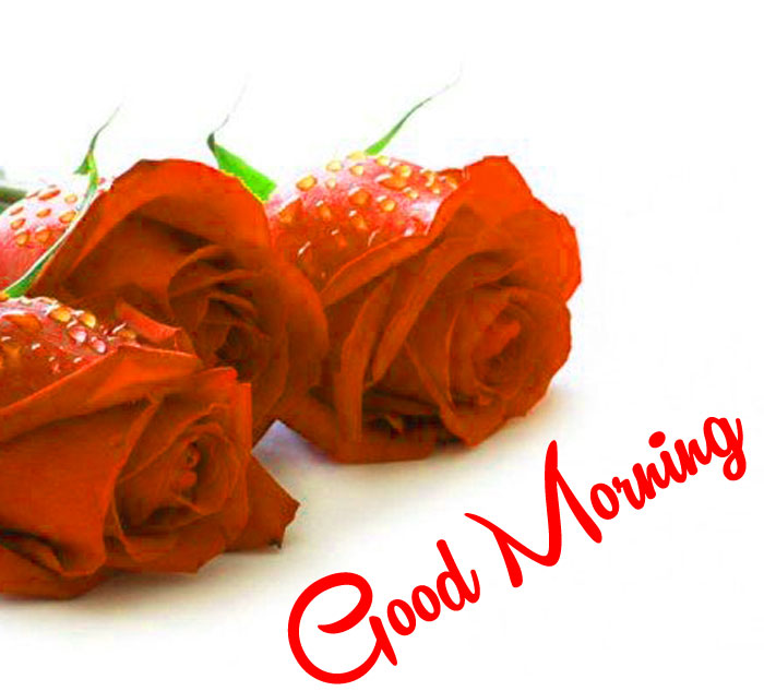 best red rose Good Morning pics hd