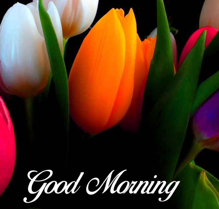 coclorful tulips flower Good Morning photo hd