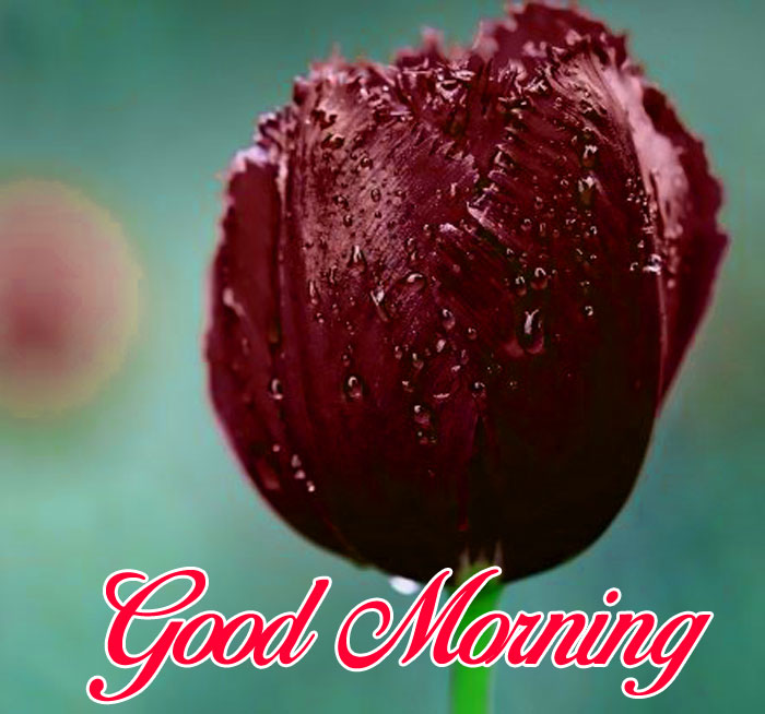 deep tulips flower Good Morning images hd