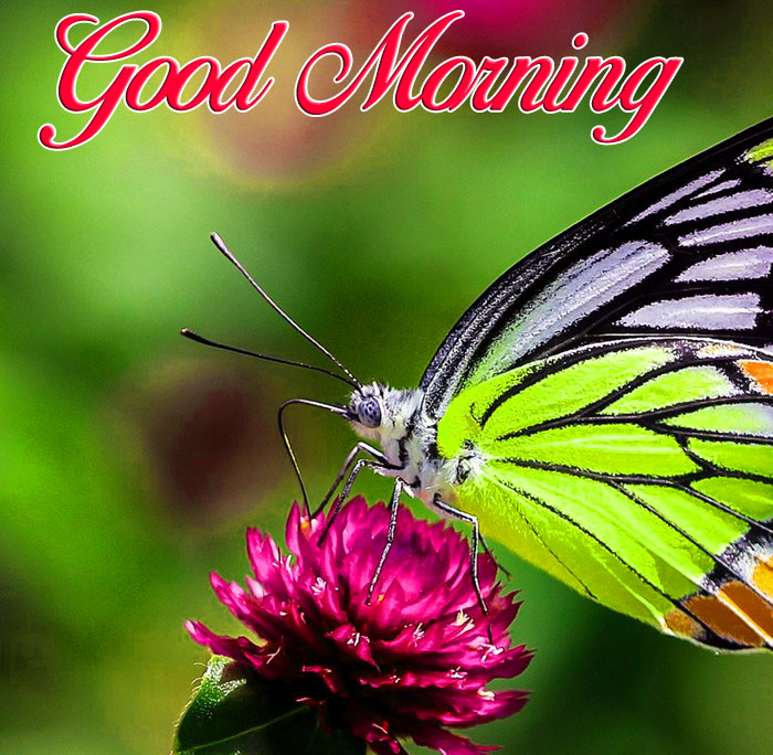 insects butterfly Good Morning images hd