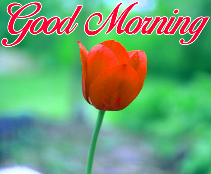 latest red tulips flower Good Morning pics hd