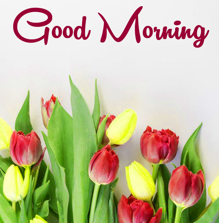 latest tulips colorful Good Morning photo hd