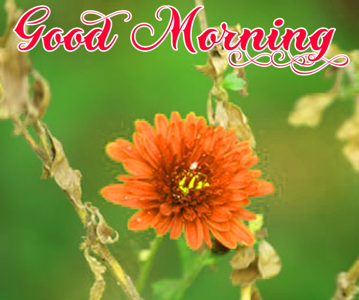 most flower Good Morning images hd