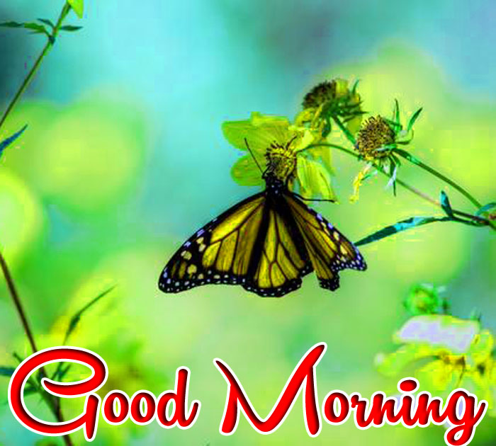 nice butterfly Good Morning images hd