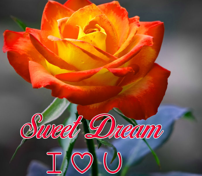 red rose flower Sweet Dream I Love You hd images