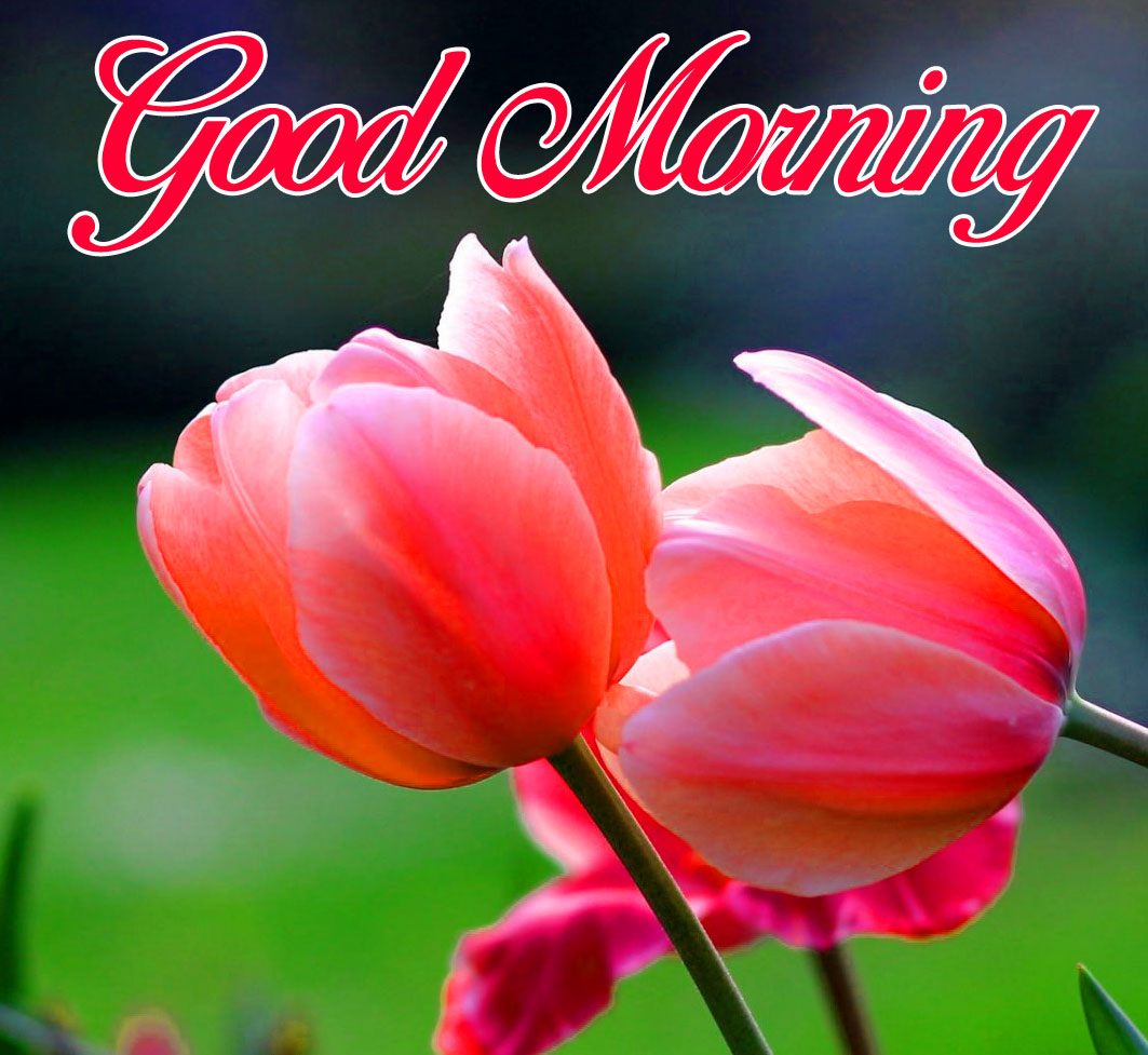 red tulips flower Good Morning photo hd