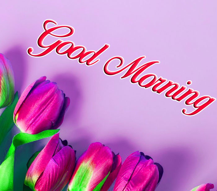 tulips flower Good Morning hd picture