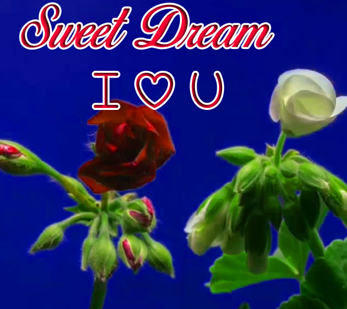 white and red rose flower Sweet Dream I Love You hd