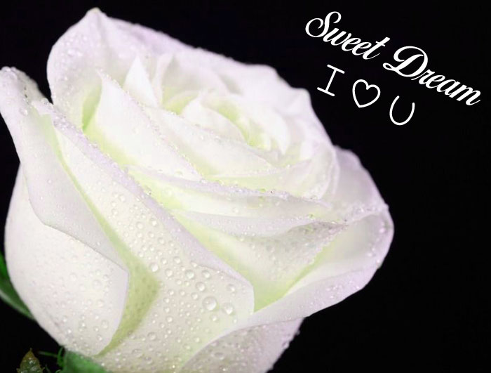 white rose flower Sweet Dream I Love You images hd