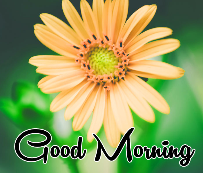 yellow flower Good Morning images hd