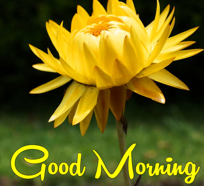 yellow singles flower Good Morning images hd