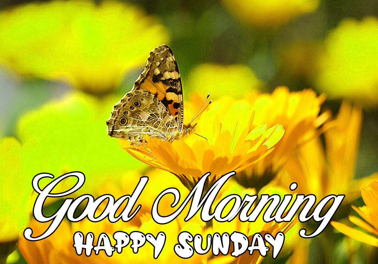 new butterfly Good Morning Happy Sunday hd wallpaper