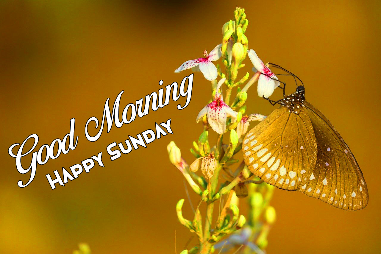 new butterfly Good Morning Happy Sunday images hd