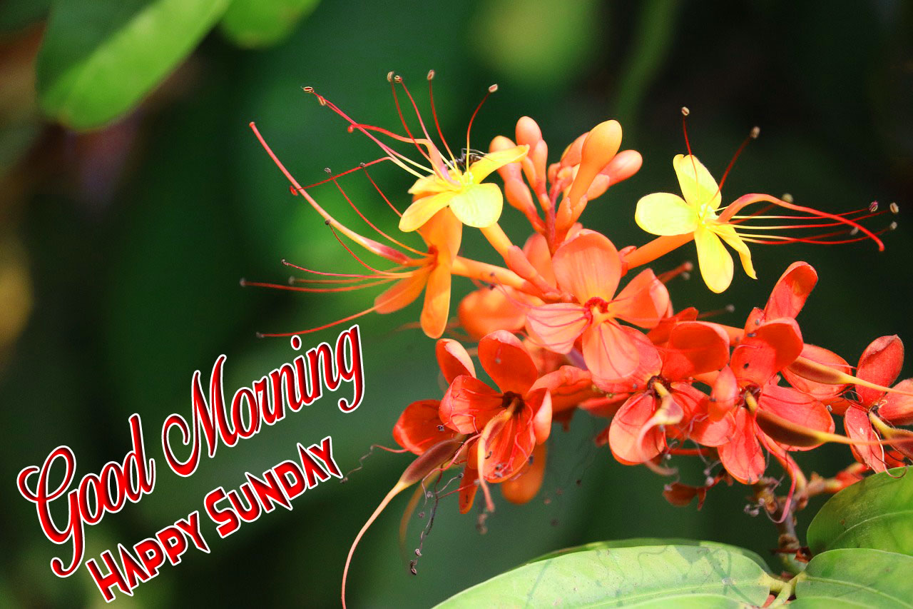 new red flower Good Morning Happy Sunday images hd