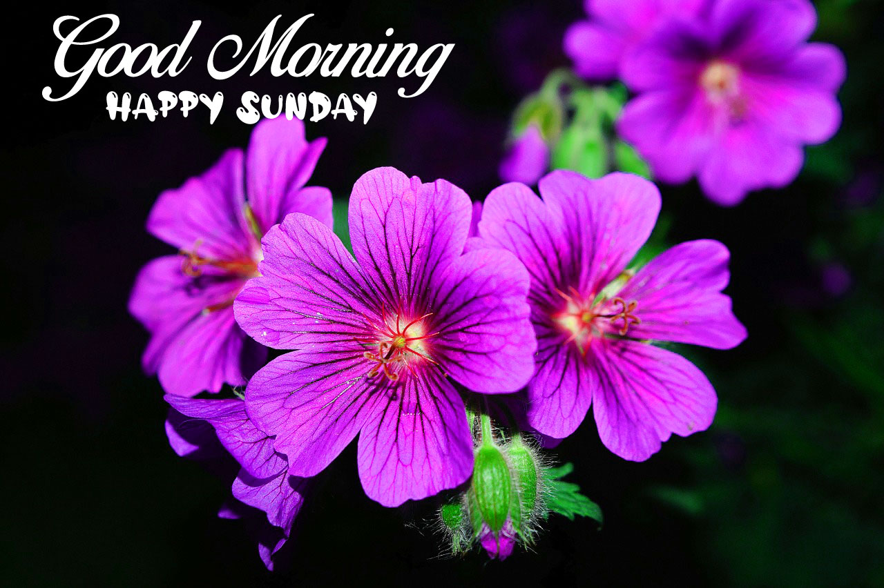 pink flower Good Morning Happy Sunday images hd