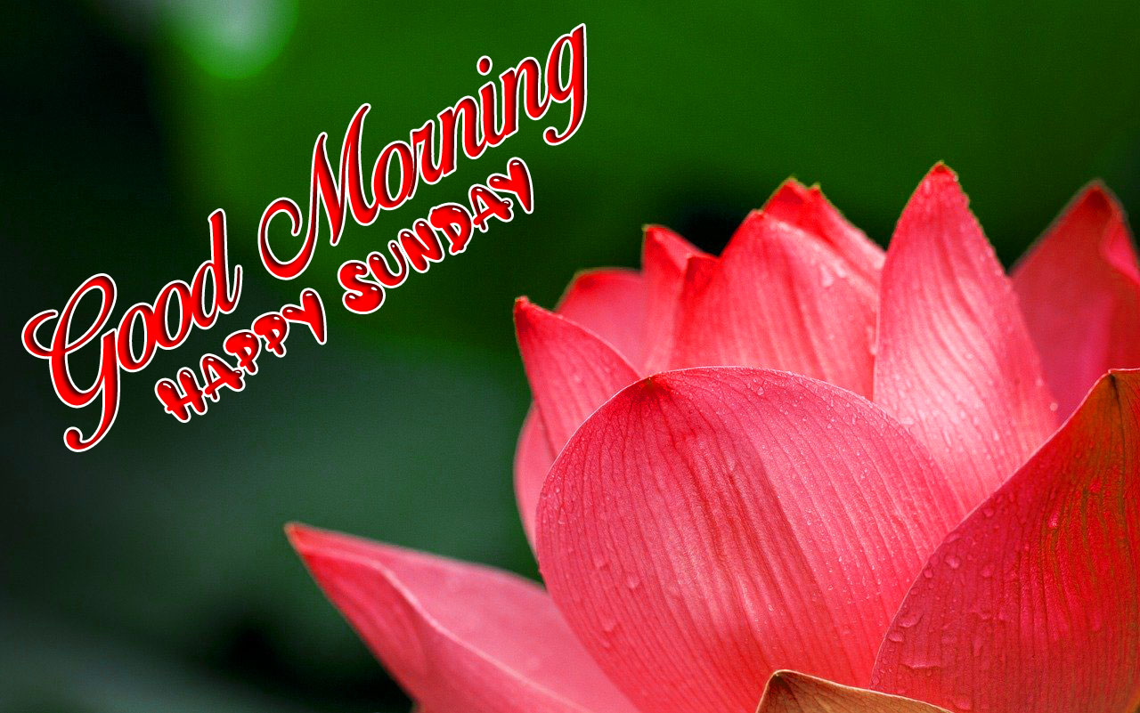 red lotus Good Morning Happy Sunday images hd