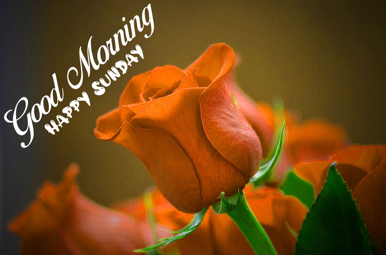 red rose flower Good Morning Happy Sunday images hd