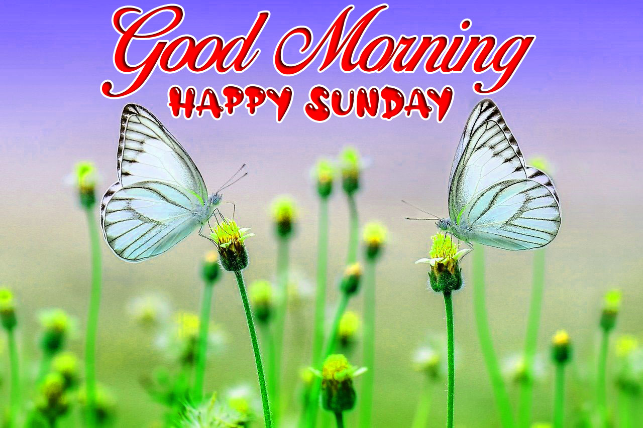 two butterfly Good Morning Happy Sunday images hd