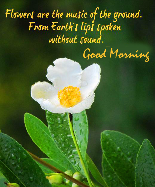 Flower with Quotes and Good Morning Wish Full HD