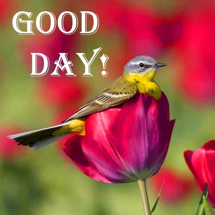 Good Day with Cute Bird on Red Tulips