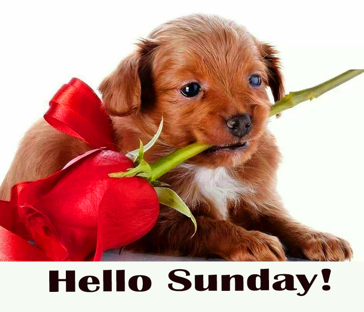Lovely Dog with Rose and Hello Sunday Wish