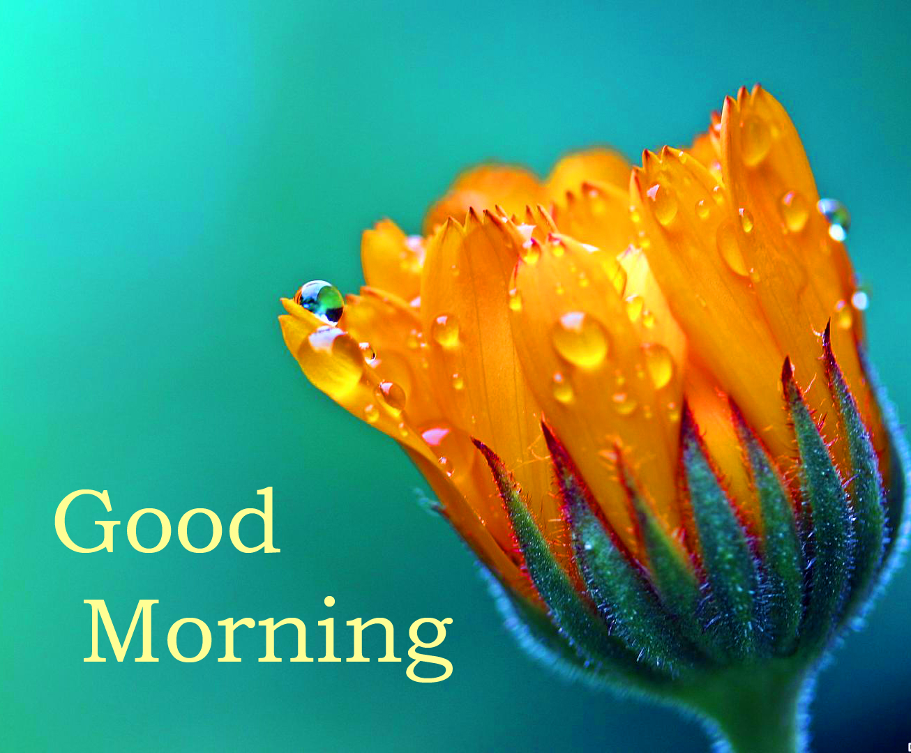 Raindrops on Flower with Good Morning Wish