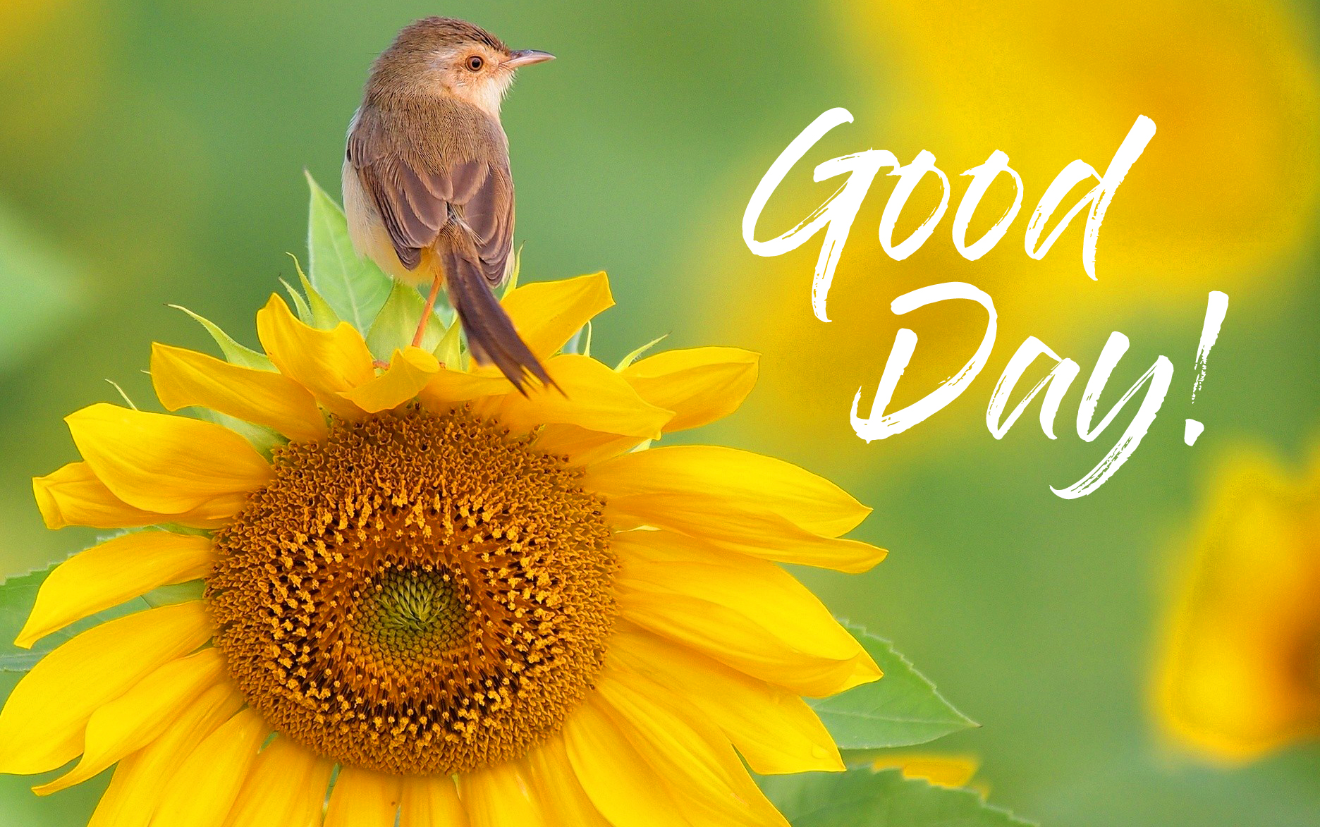 Sunflower with Bird and Good Day Wish