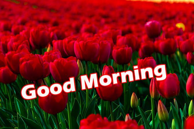 Beautiful Good Morning Red Tulips Pic