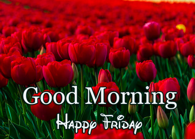 Beautiful Red Tulips Good Morning Happy Friday Image