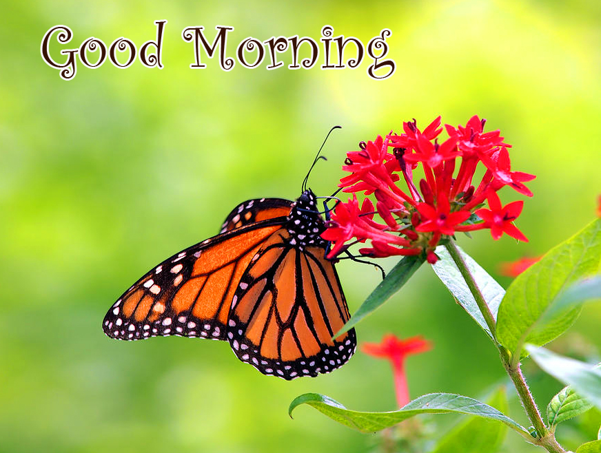 Best Good Morning Butterfly on Flowers Pic
