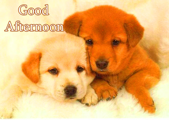 Cute Dogs Good Afternoon Sunday Wallpaper