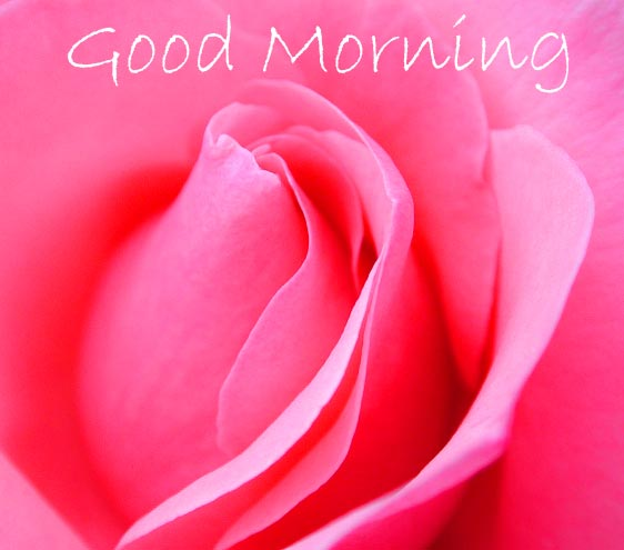 Pink Rose with Good Morning Message