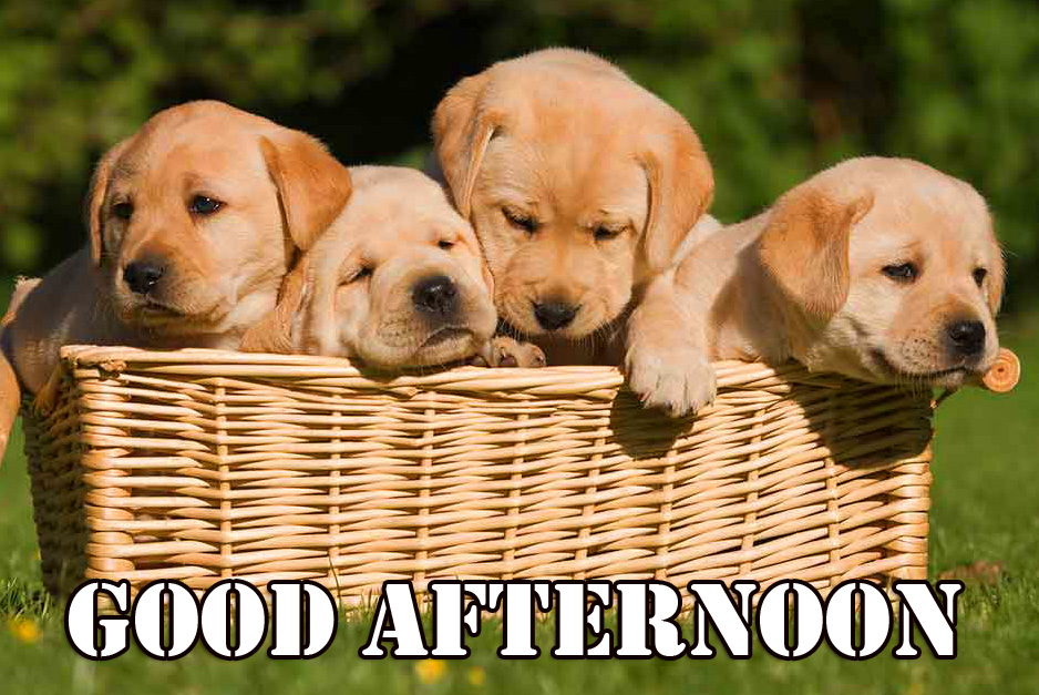Puppies in Basket with Good Afternoon Sunday Wish