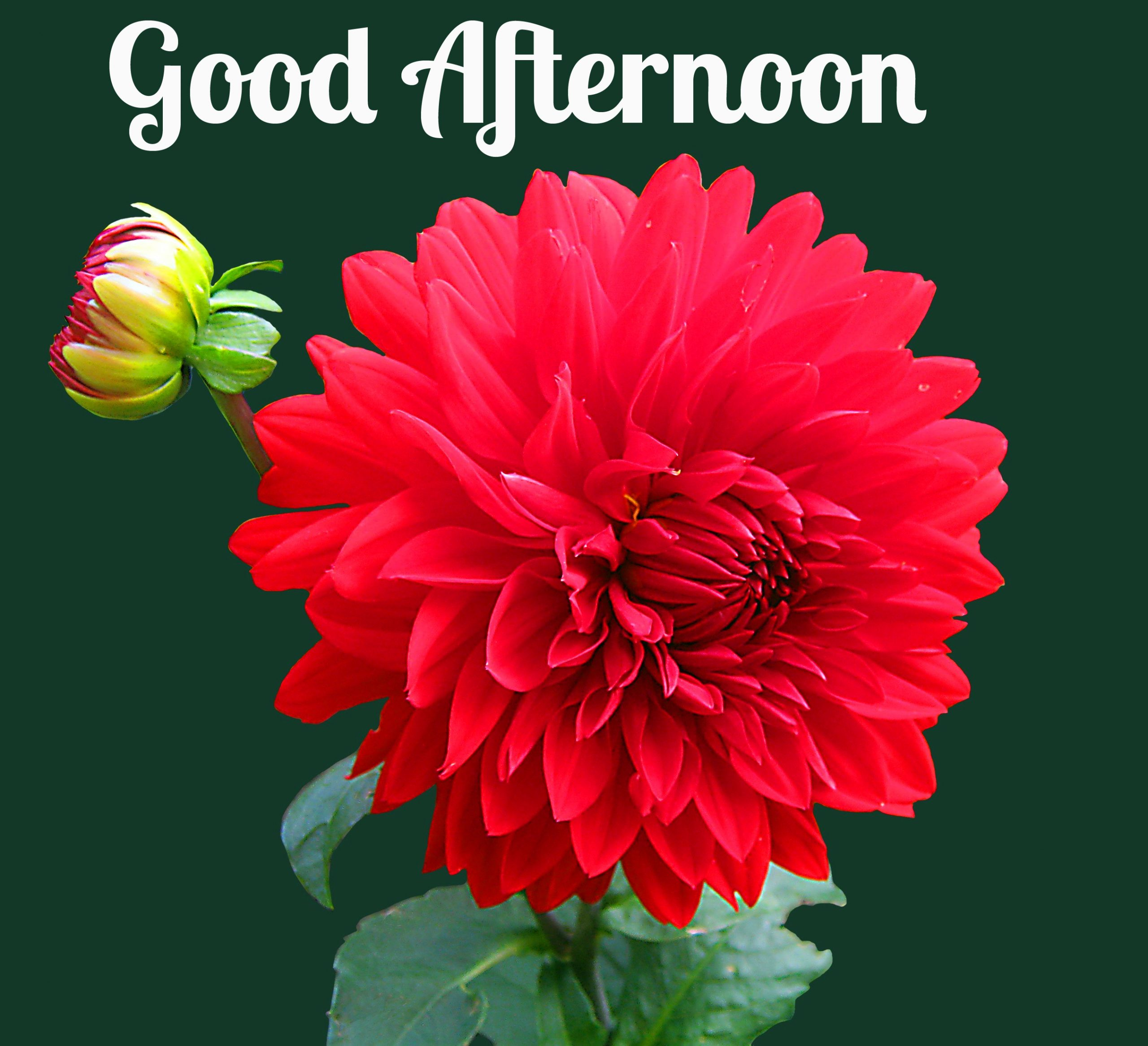 Red Flower Good Afternoon Picture