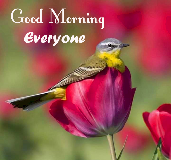Red Tulips and Bird Good Morning Everyone Pic