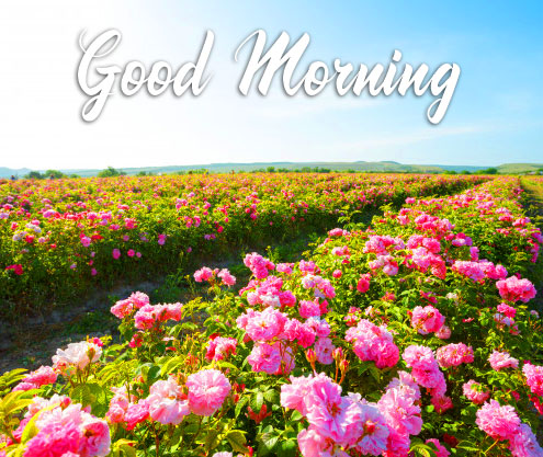 Roses Field with Good Morning Wish