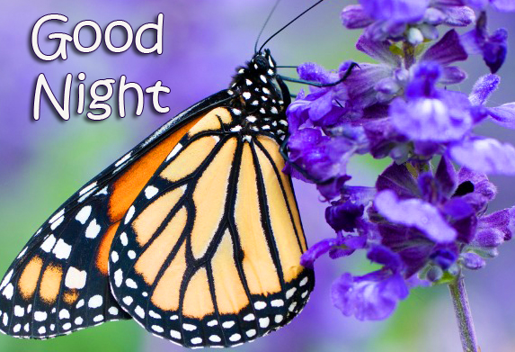 Butterfly and Purple Flowers Good Night Wallpaper
