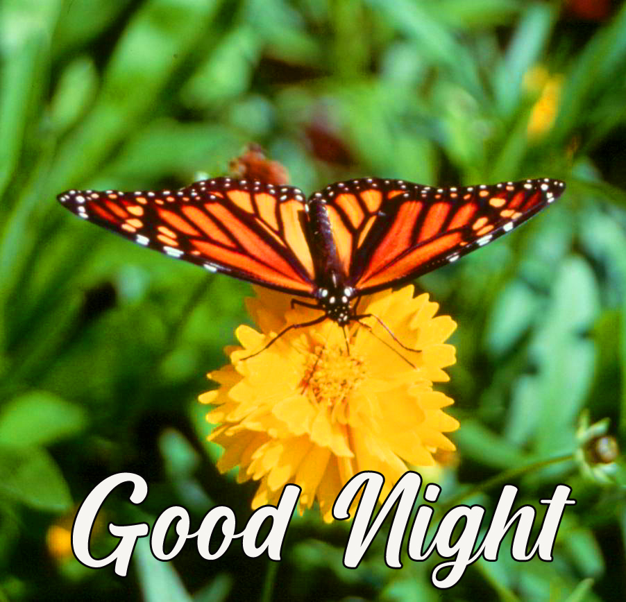 Flower and Butterfly HD Good Night Picture