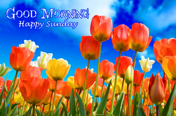 Good Morning Happy Sunday Tulips Picture