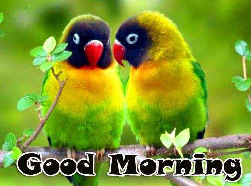 Good Morning Parrots Couple Love Image