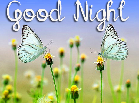 Good Night Butterflies and Flowers Photo